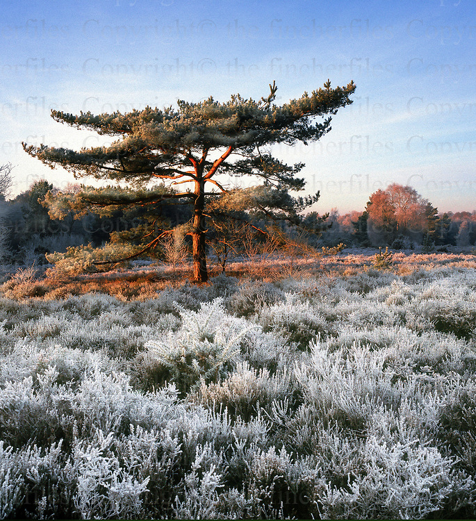Blackheath, Surrey,UK. Early morning frost over the heath January 2003. Photographed by Terry Fincher
