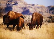 Bison, North Unit, Theodore Roosevelt National Park, North Dakota.