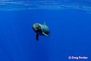 pygmy killer whale, Feresa attenuata, Kona, Hawaii, USA ( Central Pacific Ocean ) (dm)