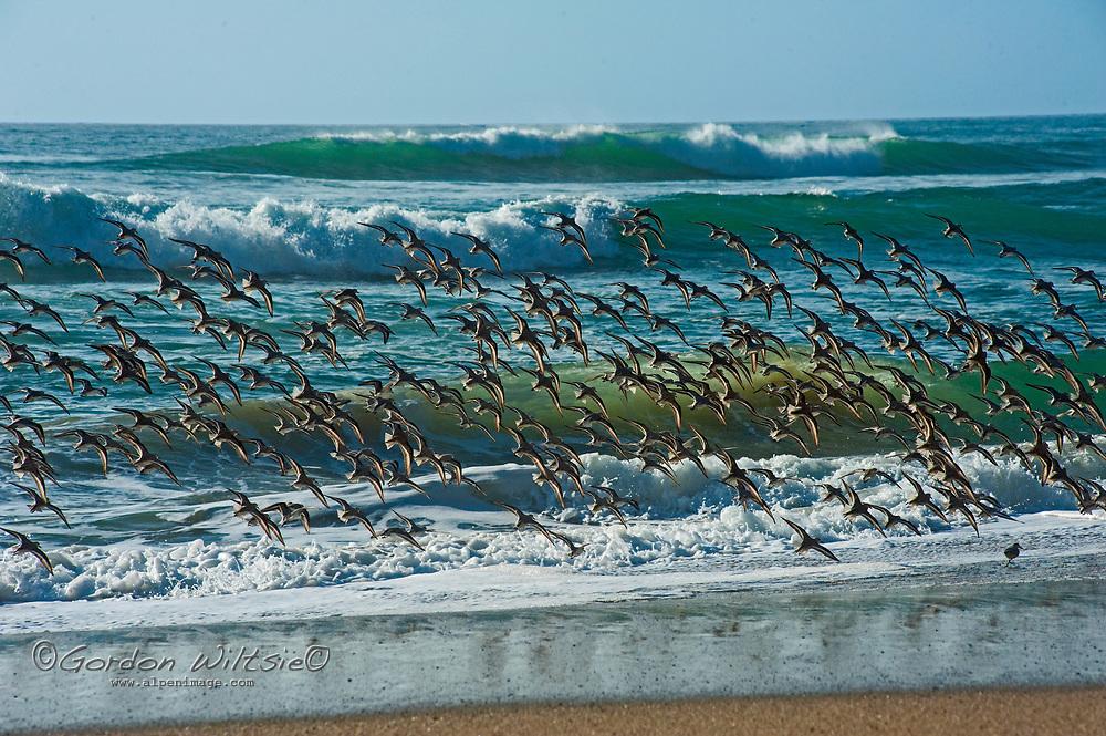 A large flock of Sanderlings (Calidris alba) flies just above the waves at a beach near Pescadero, California.