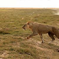Africa, Kenya, Amboseli. Lion crossing by jeep in Amboseli.