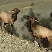 Elk (Cervus canadensis). A top cow threatens to fight a lower cow upon approach during the fall in Wyomiing.