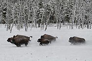 A herd of bison run across a meadow in Yellowstone National Park