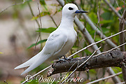 white tern or fairy tern, Gygis alba rothschildi, Sand Island, Midway, Atoll, Midway Atoll National Wildlife Refuge, Papahanaumokuakea Marine National Monument, Northwest Hawaiian Islands, USA ( Central North Pacific Ocean )