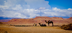 Camels resting in the desert on the road to Aït Benhaddou, Morocco.  Aït Benhaddou is an ighrem (fortified village), situated along the former caravan route between the Sahara and Marrakech in present-day Morocco. There are four families still living in the ancient village. Inside the walls of the ksar are half a dozen (Kasbahs) or merchants houses and other individual dwellings, and is a great example of Moroccan earthen clay architecture.<br /> <br /> Aït Benhaddou has been a UNESCO World Heritage Site since 1987.<br /> <br /> (c) Andrew Wilson   Edinburgh Elite media