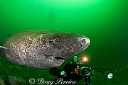 Greenland sleeper shark ( Somniosus microcephalus )<br /> and photographer St. Lawrence River estuary Canada<br /> parasitic copepod ( Ommatokoita elongata ) attached<br /> to eye of shark (this shark was wild & unrestrained -<br /> it was not hooked and tail-roped as in most or all photos<br /> from the Arctic)  MR 373