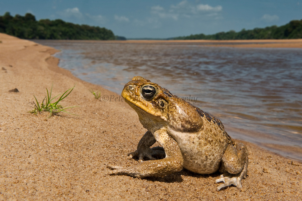 Cane Toad (Rhinella marina) previously Bufo marinus<br /> Essequibo River<br /> Iwokrama Forest Reserve<br /> GUYANA<br /> South America
