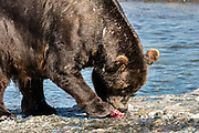 A large Grizzly bear boar with fighting scars rips apart a chum salmon caught in the upper McNeil River falls at the McNeil River State Game Sanctuary on the Kenai Peninsula, Alaska. The remote site is accessed only with a special permit and is the world's largest seasonal population of brown bears.