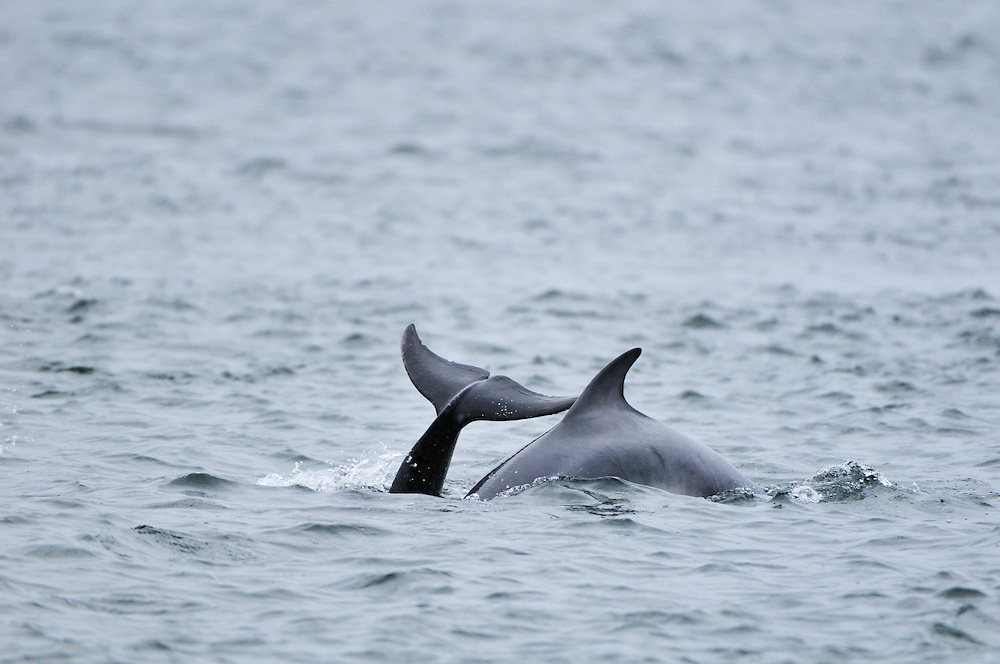 Adult Bottle-nosed Dolphins surfacing,<br /> Tursiops truncatus,<br /> Moray Firth, Nr Inverness, Scotland - July