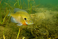 Bluegill (male on spawning nest)<br /> <br /> Engbretson Underwater Photography