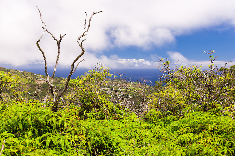 One of the many awesome views from the Waihee Ridge Trail. This view includes central Wailuku and the indigenous False Staghorn Fern (Dicranopteris linearis), hawaiian name Uluhe.