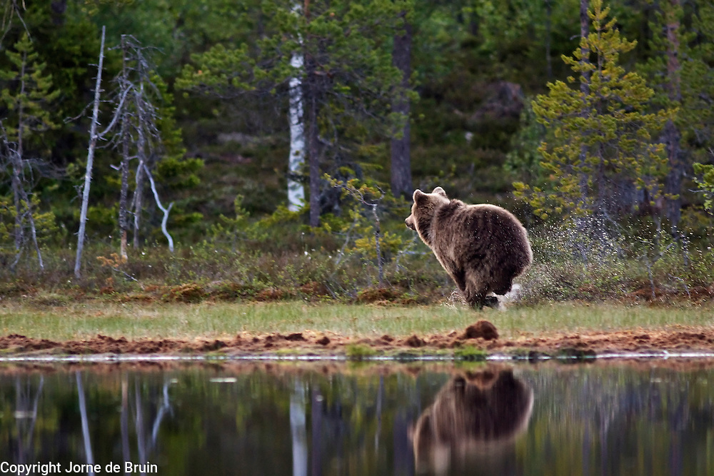 An Eurasian Brown Bear runs at the edge of a lake in the forest in Finland.
