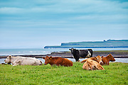 Herd of cattle by the coast in County Clare, West Coast of Ireland