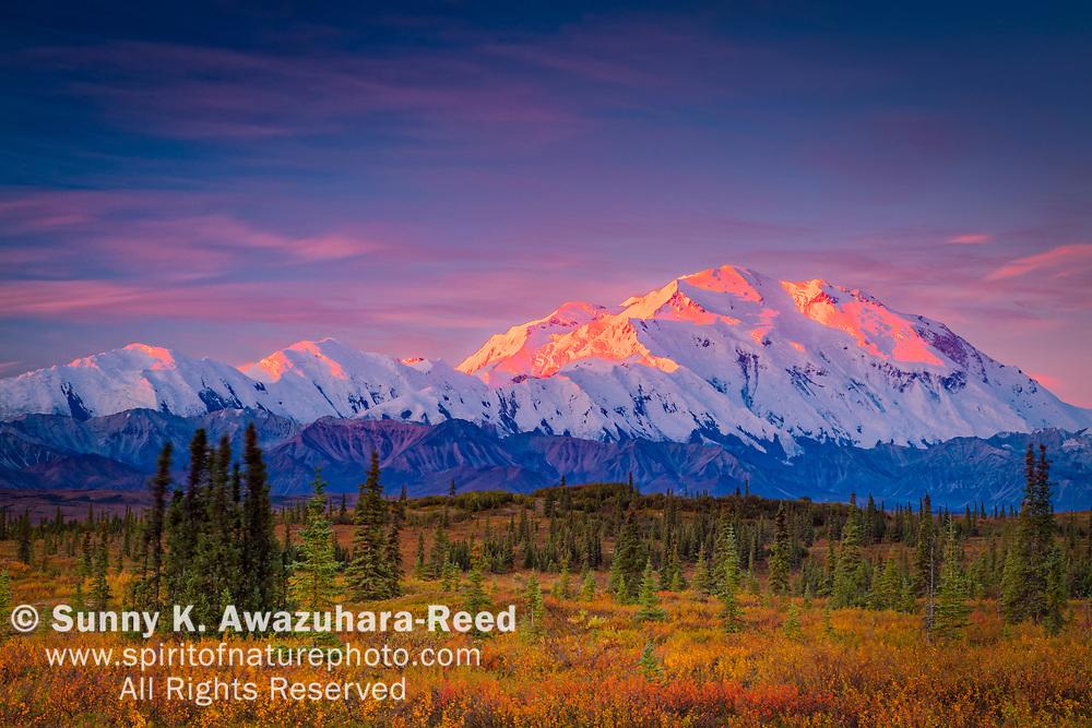 Mount Denali (McKinley) glow at sunrise. Fall color tundra in the foreground. Denali National Park & Preserve, Interior Alaska, Autumn.