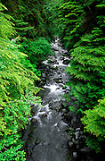 Dense forest along Howe Creek in the Quinault Rain Forest, Olympic National Park, Washington