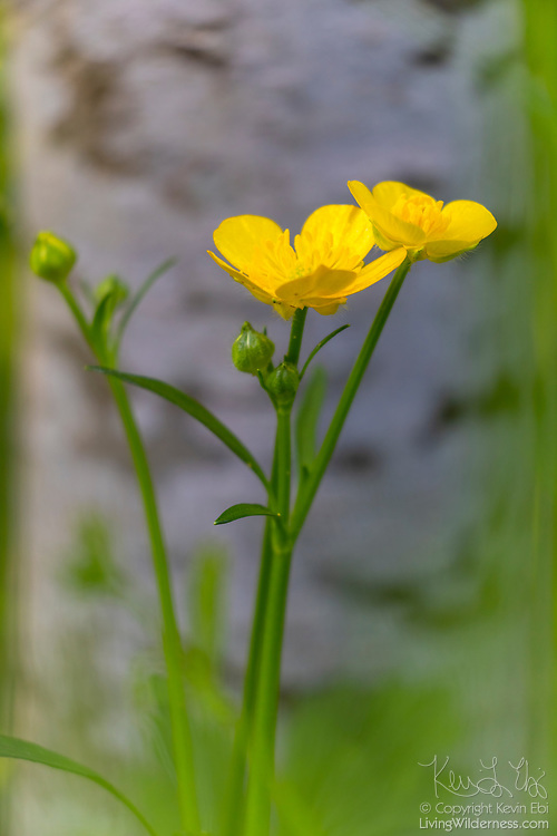 Creeping buttercup (Ranunculus repens) blooms next to the trunk of an apple tree in Snohomish County, Washington.
