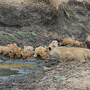 African lion mother and cubs drinking at watering hole. Londolozi Private Game Reserve. South Africa.
