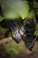 The harvest of ripe Marechal Foch grapes means the start of winemaking for Vancouver Island wineries.