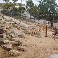 A herd of mule deer roam their paddock at the Navajo Nation Zoo in Window Rock Wednesday.