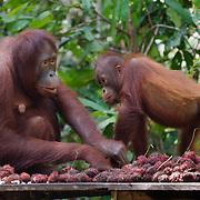 Orang-utan (Pongo pygmaeus) at feeding station. Tanjung Puting National Park. Borneo