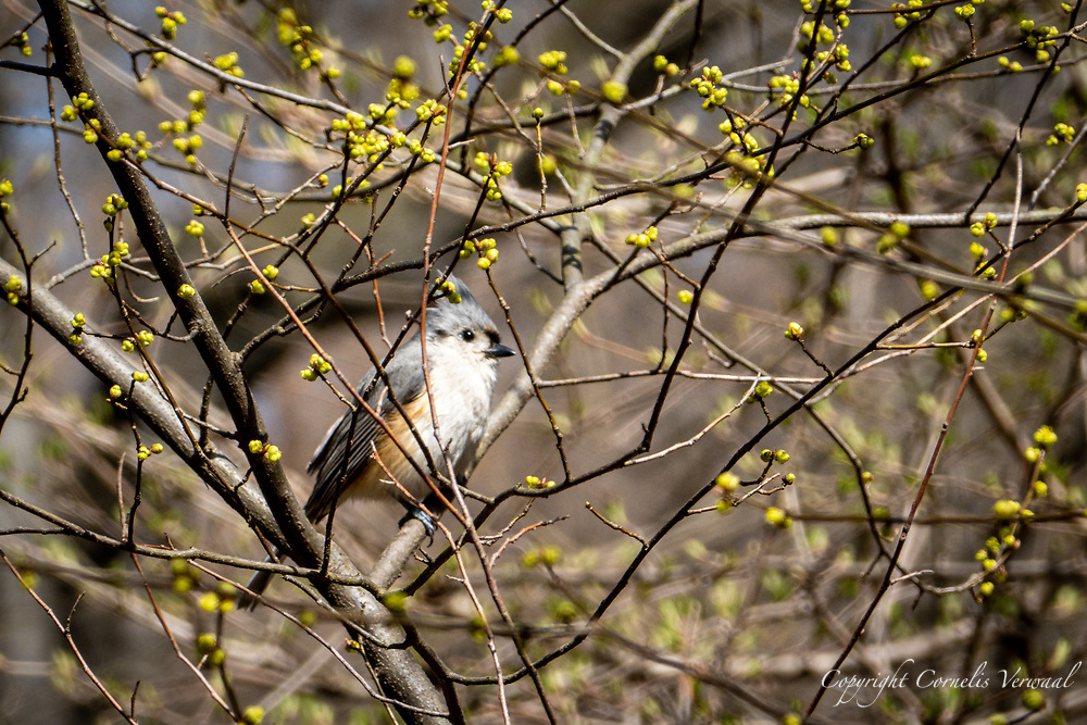 A Tufted Titmouse in The Ravine of Central Park, March 29, 2021.