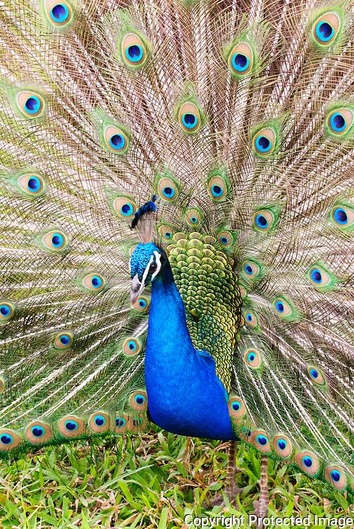 A male peacock spreading his feathers.