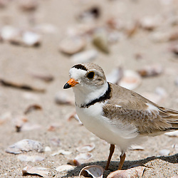 A Piping plover, Charadrius melodus, on Long Beach in Stratford, Connecticut. Adjacent to the Great Meadows Unit of McKinney National Wildlife Refuge.
