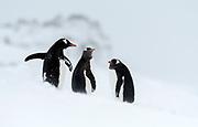 Ggentoo penguins (Pycoscelis papua) at Penguin Island, South Shetland Islands, Antarctica