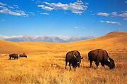 Bison at Montana's National Bison Range near Missoula.