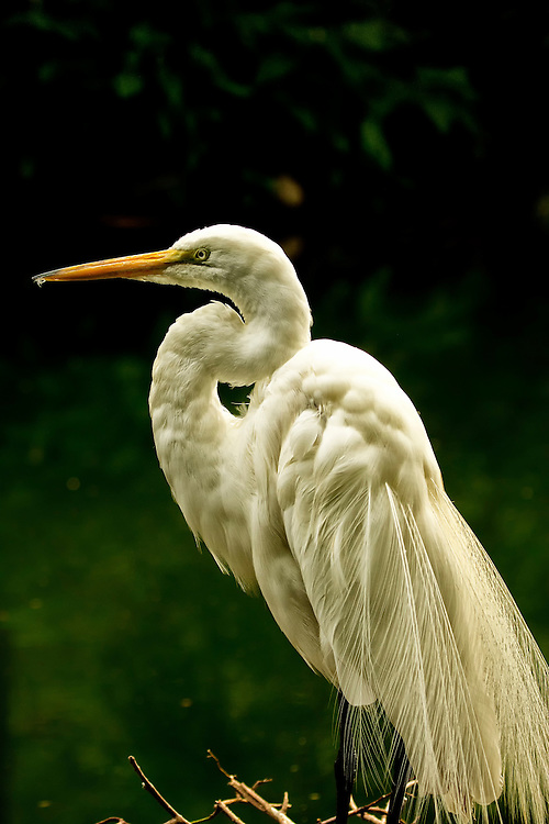 The Great Egret, also known as Great White Egret, Common Egret, or Great White Heron, is a large, widely-distributed egret. Distributed across most of the tropical and warmer temperate regions of the world, in southern Europe it is rather localized.