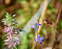 Hummingbird Clearwing moth feeding on a Purple Larkspur flower Image taken with a Nikon D5 camera and 80-400 mm VRII lens.