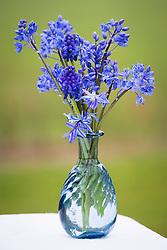 Muscari armeniacum, Chionodoxa and Scilla sibirica arranged in blue glass vase