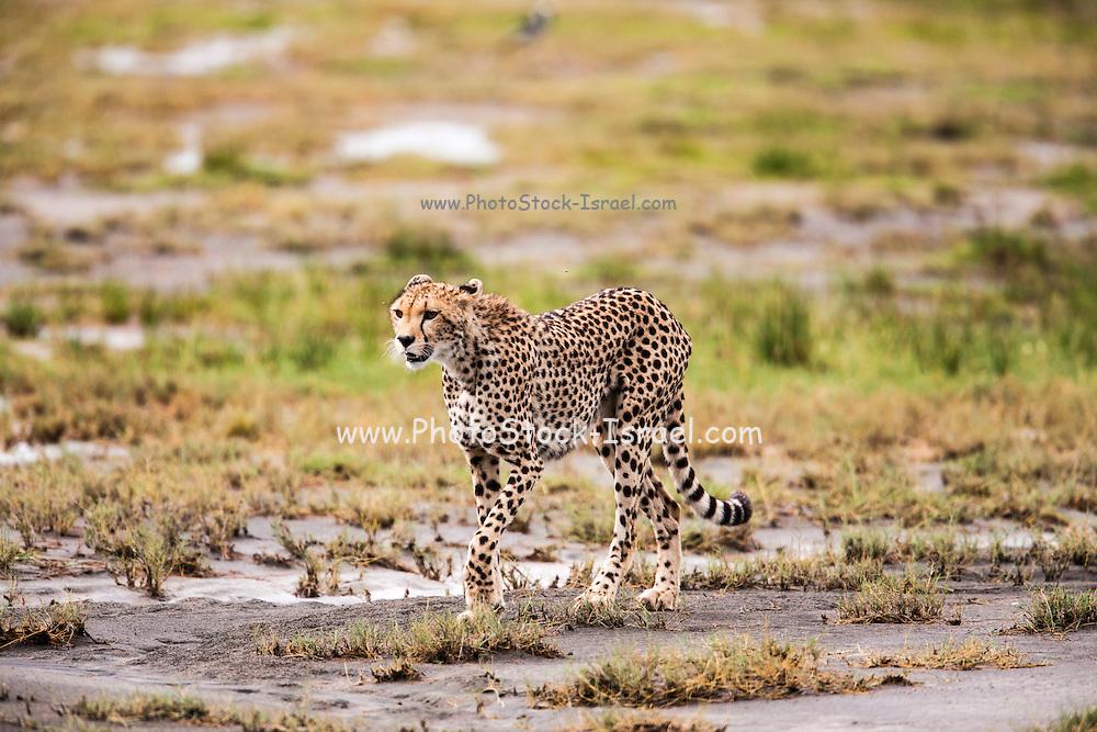 cheetah (Acinonyx jubatus). Photographed in Tanzania