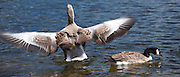 Graylag goose, Anser anser, wings flapping and Canada Goose, Branta canadensis, Tarn Hows lake, Lake District National Park, UK