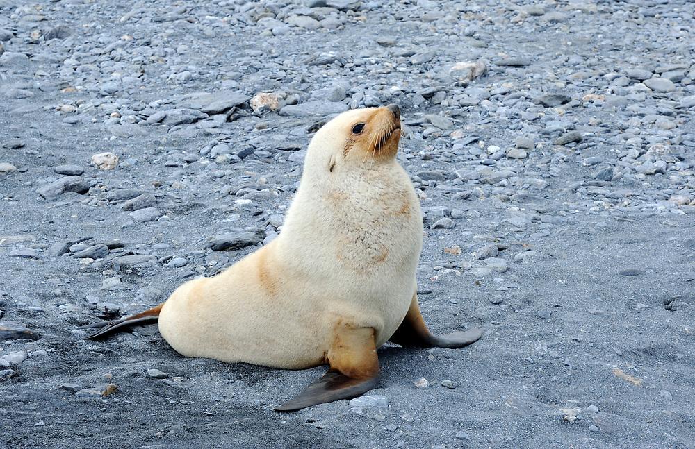 A young leucistic (lacking pigementation) male Antarctic Fur Seal (Arctocephalus gazella) on the beach of Shingle Cove. Coronation Island, South Orkney Islands.
