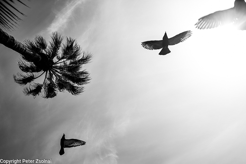 Pigeons fly around a Palm tree in Palermo, Sicily, Italy.