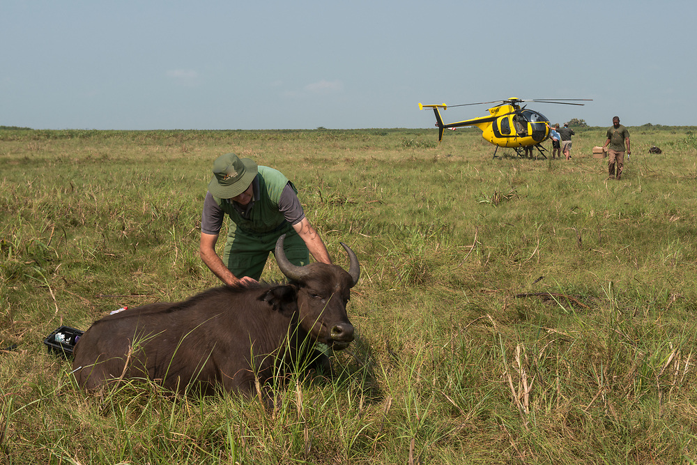 Darted Buffalo (Syncerus caffer)<br /> Marromeu<br /> Eastern Mozambique, Africa<br /> Wild buffalo darted from helicopter for blood and Probang (throat scrape) samples to test for foot-and-mouth disease to prepare localized vaccines for regionally different foot-and-mouth strains.