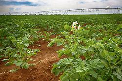 Plantação de batatas sob pivô de irrigação na zona rural de Uberaba-MG. FOTO: Jefferson Bernardes/ Agência Preview