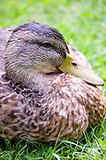 Female mallard roosting in The Cotswolds, Oxfordshire, England, United Kingdom