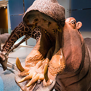 A hippopotamus and other African wildlife on display at the Smithsonian National Museum of Natural History in Washington DC.