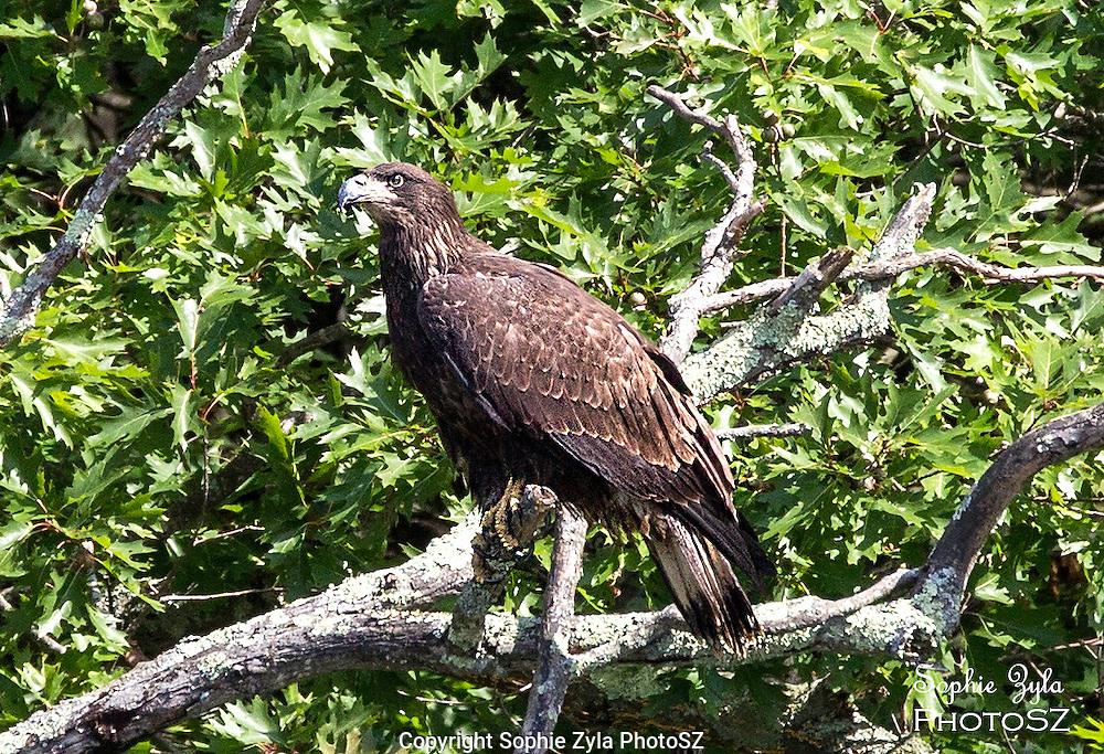 Juvenile Bald Eagle at Barton Cove Turners Falls MA