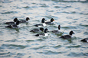 A small raft of Goldeneyes pass along the shore.  The adult female has the yellow-orage bill.  The adult males have the white cresent moon at the base of their bill.  Several first winter birds are also present.