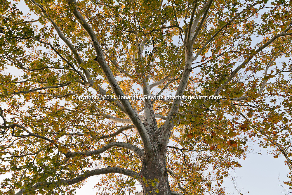 A tall sycamore tree in Autumn. WATERMARKS WILL NOT APPEAR ON PRINTS OR LICENSED IMAGES.