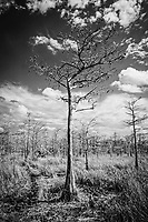 A bald cypress tree stands in the normally wet Big Cypress National Preserve in Southwest Florida during the dry season. This image was photographed in infrared.