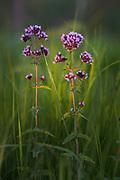 Oregano (Origanum vulgare) blooming between green grases on road side, bathing in evening sunlight, near Valmiera, Vidzeme, Latvia Ⓒ Davis Ulands   davisulands.com