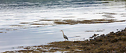 Large Grey Heron, Ardea cinerea, by shoreline of Loch in the Ardnamurchan Peninsula in Western Highlands of Scotland