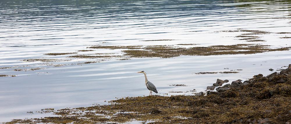 Large Grey Heron, Ardea cinerea, by shoreline of Loch in the Ardnamurchan Peninsula in Western Highlands of Scotland