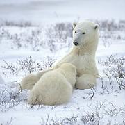Polar bear mother nursing her cubs. Canada