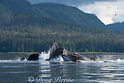 humpback whales, Megaptera novaeangliae, bubble net feeding on herring, with sea gulls hoping to snatch fish; baleen (used to strain fish from water) can be seen in the open mouths of several whales; Kupreanof Island, Frederick Sound, Inside Passage, southeastern Alaska, USA