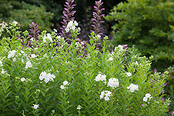 White phlox, known as 'Jeannie's Phlox', with Acanthus spinosus in the background at Glebe Cottage